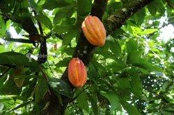 Vente plantations de cacao- Agboville