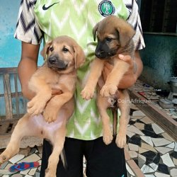 Chiots bergers
