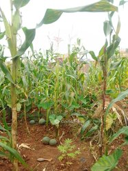 Terrain agricole  - Salmoa