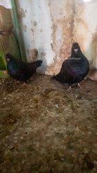 Paire pigeon Romain