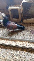Paire pigeon Coschoi