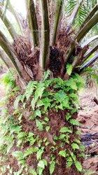 Vente  plantations de palmiers à huile 120 ha - Toumodi