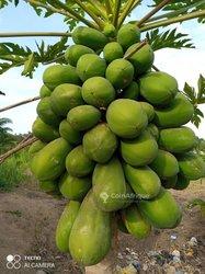 Semences de papayer calina ibp9
