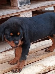 Chiots rottweilers pur sang