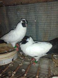 Pigeon Cokier