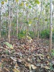 Vente Plantation de teck 6 ha - Adzopé