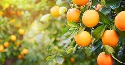 Plants d'orange
