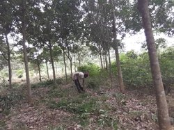 Vente Plantation d'hévéa 16,5 ha - Daloa Belleville