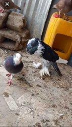 Pigeons mâles boulants de Poméranie
