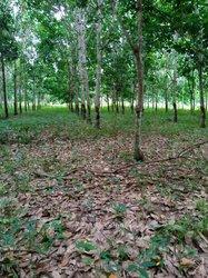 Terrain 52 hectares  hévéas  - Agboville