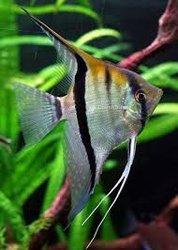 Poisson Sacalaire pour aquarium