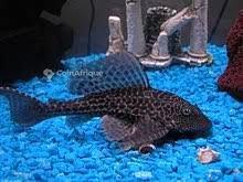 Poisson nettoyeur d'aquarium