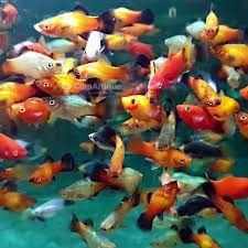 Platy aquarium