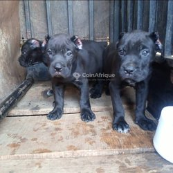 Chiots canne corso