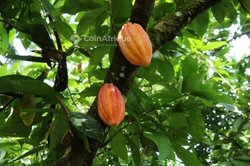 Verger  cacao - Agboville