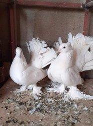 Pigeons paons indiens