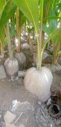 Pépinière cocotiers