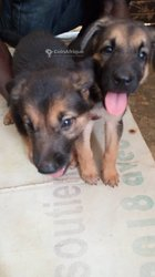 Chiots bergers allemands pur sang