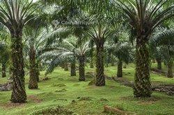 Vente Plantati̇on palmier à huile 3000 ha - Agboville