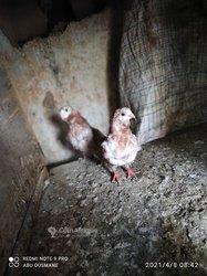 Pigeon cravate chinois