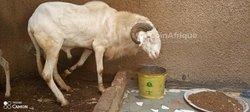 Mouton  Ladoum