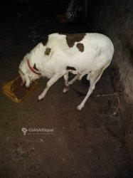 Mouton Azawad