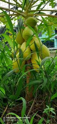 Semences Golden Papaya IPB4