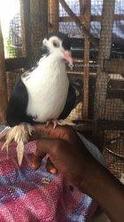 Pigeon lahore