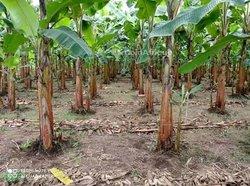 Bananier plantin