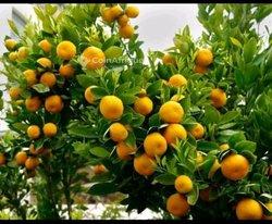 Orangers ortalique