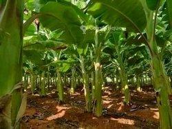Pépinières de bananier plantain