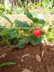 Plantes de fraises