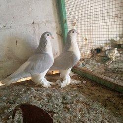 Pigeon Laor
