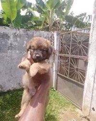 Chiot Rottweiler