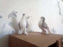 Pigeons laor couple