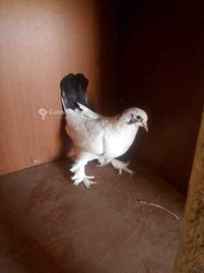 Pigeon femelle boulant de sax