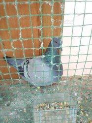 Femelle pigeon mondain