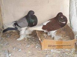 Couples Pigeons Boulant Panarami reproducteurs