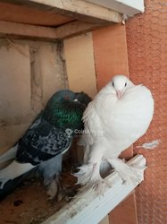 Pigeon mondain-boulant