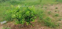Terrains agricole 1,9 ha  - Noto diobass