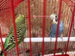 Couple perruches ondulées