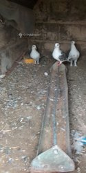 Pigeon voyageur Mento