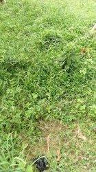 Cherche pépinière piment - papaye solo