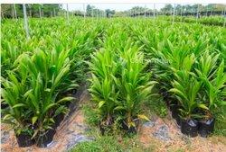 Pépinière palmiers