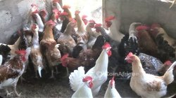 Poules locales