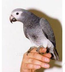 Perroquet de timneh
