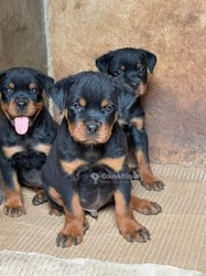 Chiots German Dogs