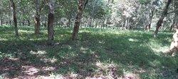 Vente plantation hévéa 248 ha -  Grand lahou