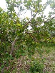 Vente Plantation d'anacarde 2 ha - Tchaourou