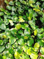 Plants de poivriers